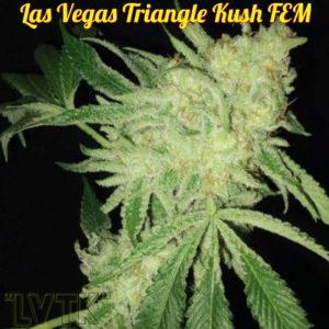 Canna Venture - Las Vegas Triangle Kush