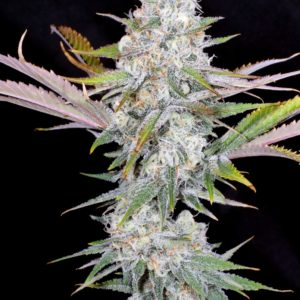 Mass Medical Strains - Mr E Pupil (Fem)