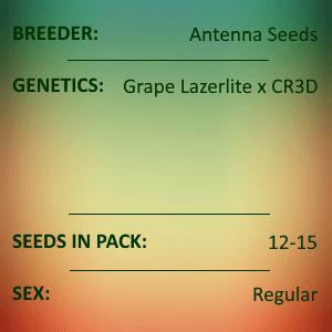 Antenna Seeds-Purple Lazerlite 1