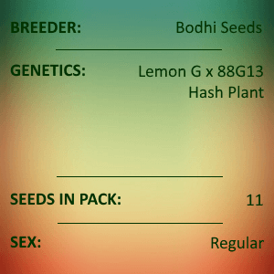 Bodhi Seeds - Lemon Hashplant V2