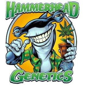 Hammerhead Genetics - Cannabis Seed Breeder