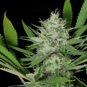 Mass Medical Strains - Heavenly Sativa