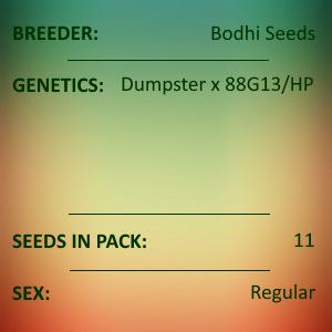 Bodhi Seeds - Garfunkle