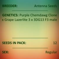 Antenna Seeds - Purple Lazerlite 4