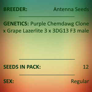 Antenna Seeds - Purple Lazerlite 4