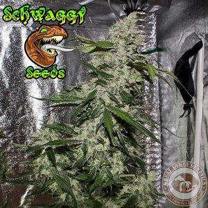Schwaggy Seeds - Skunky D