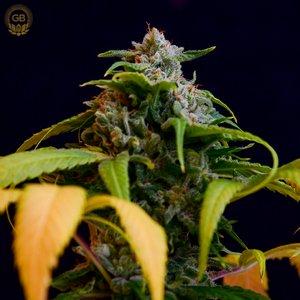 Green Bodhi - Charlotte's Web x AC DC 78