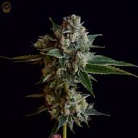 Green Bodhi - Tenzin Kush #2 x Illusion OG