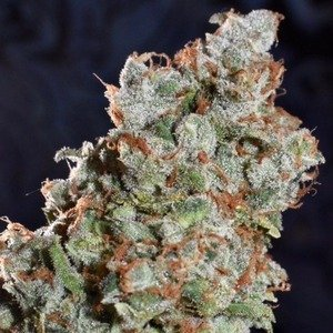 East Coast Originals - Tangerine Super Skunk