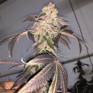 Mosca Seeds - Biskit