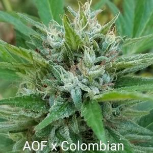 Coastal Seed Co - Aunt of Farouk Colombian