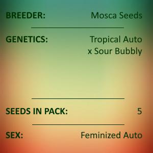 Mosca Seeds - Pina Colada
