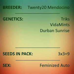 Twenty20 Mendicino - Autoflower 3 pack
