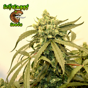 Schwaggy Seeds - Schwaggy's Afghan Skunk F3BX1F1