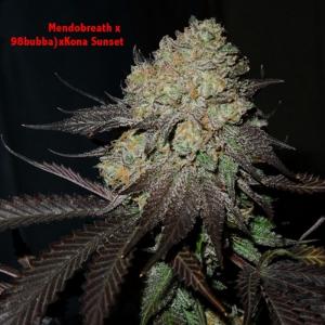 Hammerhead Genetics - (Mendobreath x 98 Bubba) x Kona