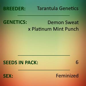 Tarantula Genetics - Apple Punch
