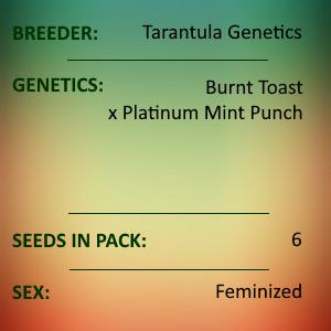 Tarantula Genetics - Burnt Punch